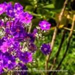 Flores de Tibuchina