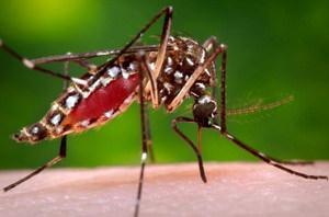 aedes aegypti, mosquitos, genética y relaciones públicas