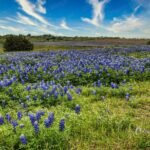 Blue Bonnets, Ennis, Texas
